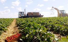 Cùng du học sinh Việt đi thu hoạch dâu tây tại Nga