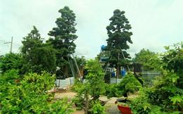 4 cây Vạn Niên Tùng giá 12 tỷ của đại gia Sài Gòn
