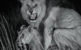 """Cuộc sống """"giết chết lẫn nhau"""" của sư tử châu Phi"""