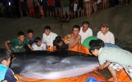 2 giờ giải cứu 'ông cá voi' 3 tấn ở Cô Tô