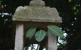 Kì lạ cây đa trăm tuổi cao nửa gang tay trong ngôi chùa cổ