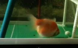 Top video hot trong tuần: Cá cũng biết chơi bóng
