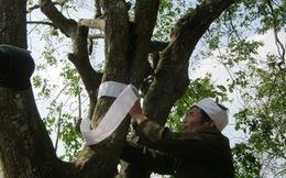 Thắt khăn tang cho cây khế trăm tuổi tại vườn Đại tướng