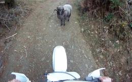 Video hot: Cuộc tái đấu giữa người và cừu