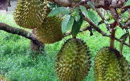 """Nam giới ăn sầu riêng sẽ """"mạnh""""?"""