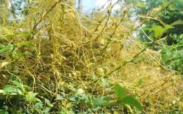 Chữa liệt dương hiệu quả không ngờ từ loại dây leo mọc hoang