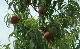 Loại trái cây quen thuộc có thể ngăn chặn sự di căn của ung thư
