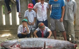 """Bắt được """"cá lạ"""" nặng hơn 200kg ở Phú Yên"""