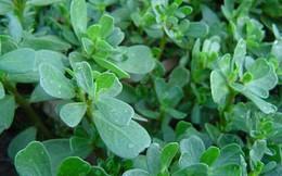 Bài thuốc chữa dứt bệnh trĩ từ cây rau sam và một số thảo dược