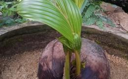 Chuyện lạ: Hai cây dừa cùng mọc lên từ một quả khô