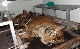 Đưa 2 con hổ bị quẳng xuống đường vào vườn quốc gia