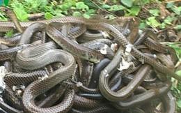 Quảng Trị thả 30 cá thể rắn về môi trường tự nhiên