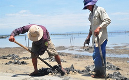 Bí ẩn thương lái Trung Quốc ồ ạt thu mua giun biển