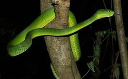 Quảng Ngãi: Xuất hiện rắn lục đuôi đỏ trong khu vực dân cư