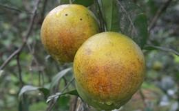 Cách phân biệt cam vàng Cao Phong với cam Trung Quốc