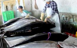 Lạ: Ngư dân gây mê cá ngừ đại dương