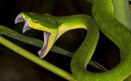 Cách sơ cứu nhanh chóng khi bị rắn lục đuôi đỏ tấn công