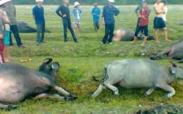Sét bất ngờ đánh chết 3 con bò và 1 con bê