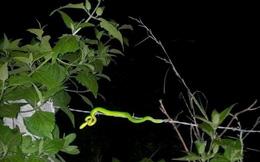 TP.HCM: Ra ngoại thành săn rắn lục đuôi đỏ
