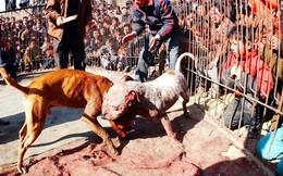 Xót xa cảnh chọi chó đẫm máu tại Trung Quốc