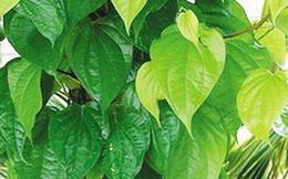 Cao nhân trị rắn độc cắn cực linh nghiệm chỉ bằng lá trầu quả cau