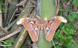 Nghệ An: Phát hiện bướm lạ khổng lồ trong lúc chặt tre