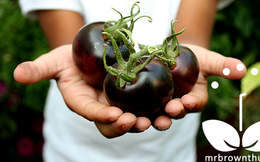 Cà chua tím bổ dưỡng như việt quất, bạn đã từng gặp chưa?
