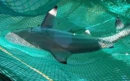 Có thực cá mập trắng liên tiếp xuất hiện gần bờ biển Khánh Hòa?