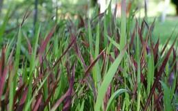 """Mát gan, giải độc cực tốt bằng thứ cỏ """"phế thải"""" của nhà nông"""