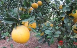 Bưởi Diễn dành cho nhà giàu, hét giá trăm ngàn mỗi quả tại vườn