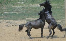 Đầu xuân Giáp Ngọ đi xem chọi ngựa