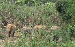 Ba cá thể voi rừng vừa xuất hiện ở Sơn Kim