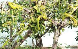 """Tận mắt chứng kiến hàng trăm con rắn """"ngụy trang"""" trên ngọn cây"""