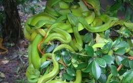 Làm gì để khống chế rắn lục đuôi đỏ?