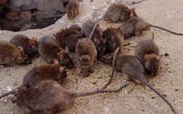 Rùng mình người phụ nữ nhân giống hàng ngàn con chuột