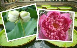 Những đầm sen cực đẹp và cực lạ ở Việt Nam