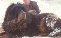 Chó ngao Tây Tạng cắn chết 37 con sói: Quá dũng mãnh!