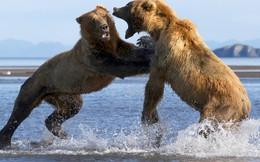 24h qua ảnh: Gấu nâu quyết chiến tranh giành cá hồi