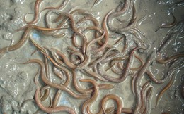 """""""Đút túi"""" hơn trăm triệu/năm nhờ nuôi lươn vào mùa lũ"""