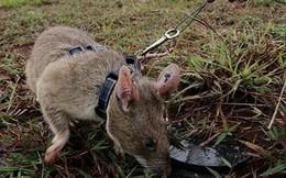 Chuột khổng lồ dò gỡ hàng chục ngàn quả mìn