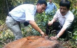 Đốn cây trăm tuổi để bảo vệ… rừng!