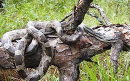 """Đón xuân ở """"vương quốc"""" bất khả xâm phạm của loài rắn hổ mây khổng lồ"""