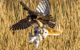 24h qua ảnh: Chim cắt quyết chiến cướp mồi của cú lợn