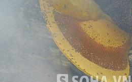 Tổ ong khổng lồ đáng giá cả một gia tài ở Tuyên Quang
