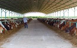 Đại gia đổ ngàn tỉ trồng rau, nuôi bò