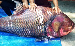 """Thương lái Sài Gòn mua được cặp cá hô """"khủng"""" nặng 240kg"""