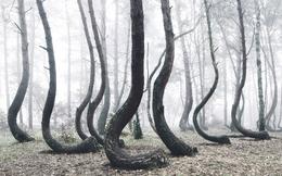 Rừng thông uốn cong thân bí ẩn ở Ba Lan