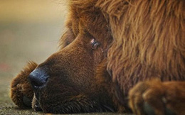 """Số phận bi thảm của Ngao Tạng: Từ """"chó thượng lưu"""" đến... nồi lẩu"""
