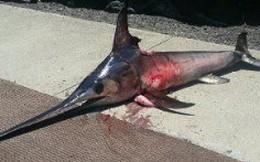 Một thuyền trưởng bị cá kiếm đâm chết