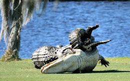 Hai con cá sấu gây sửng sốt khi quyết chiến ngay trên sân golf